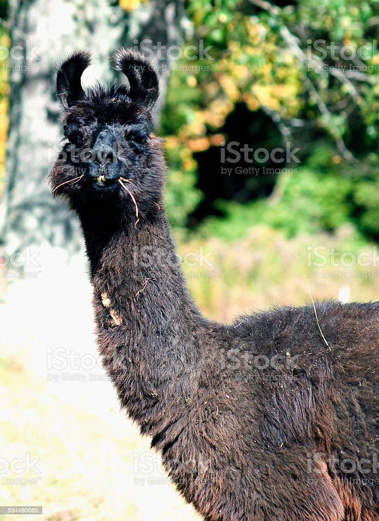 Llama takes a moment from eating stock photo