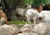 Llamas, alpacas in the Sacred Valley of the Incas