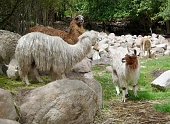 Llamas and alpacas in the Sacred Valley of the Incas