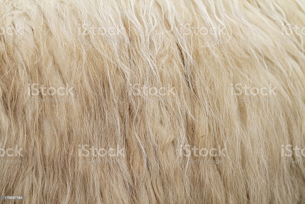 Flank of llama Lama glama flowing fleece stock photo