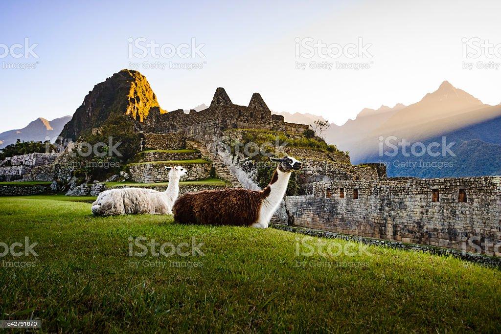 Llamas at first light at Machu Picchu, Peru stock photo