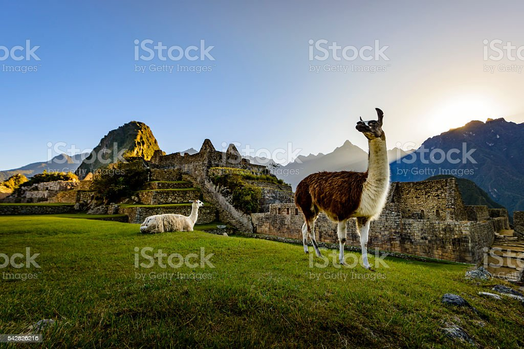 Llamas at first light at Machu Picchu, Peru stock photo