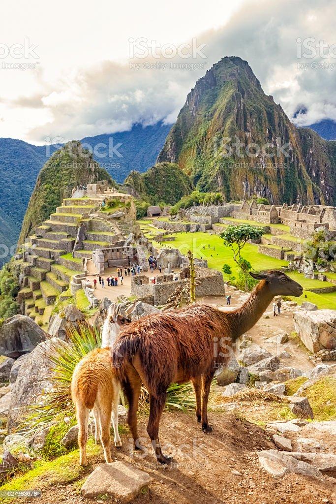 Llamas at Machu Picchu in Peru stock photo