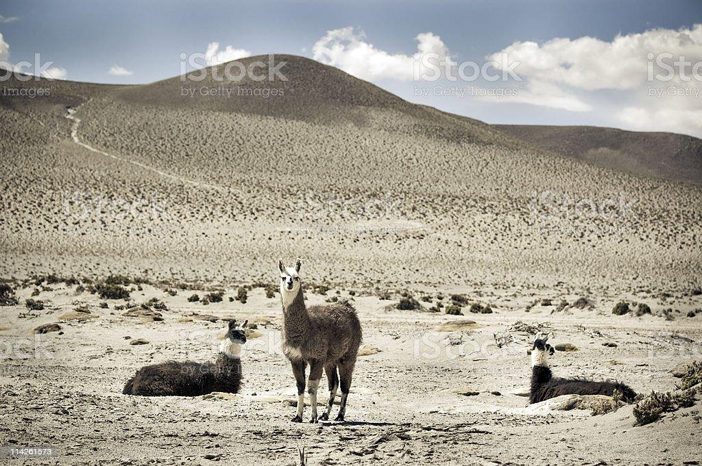 Llamas family royalty-free stock photo