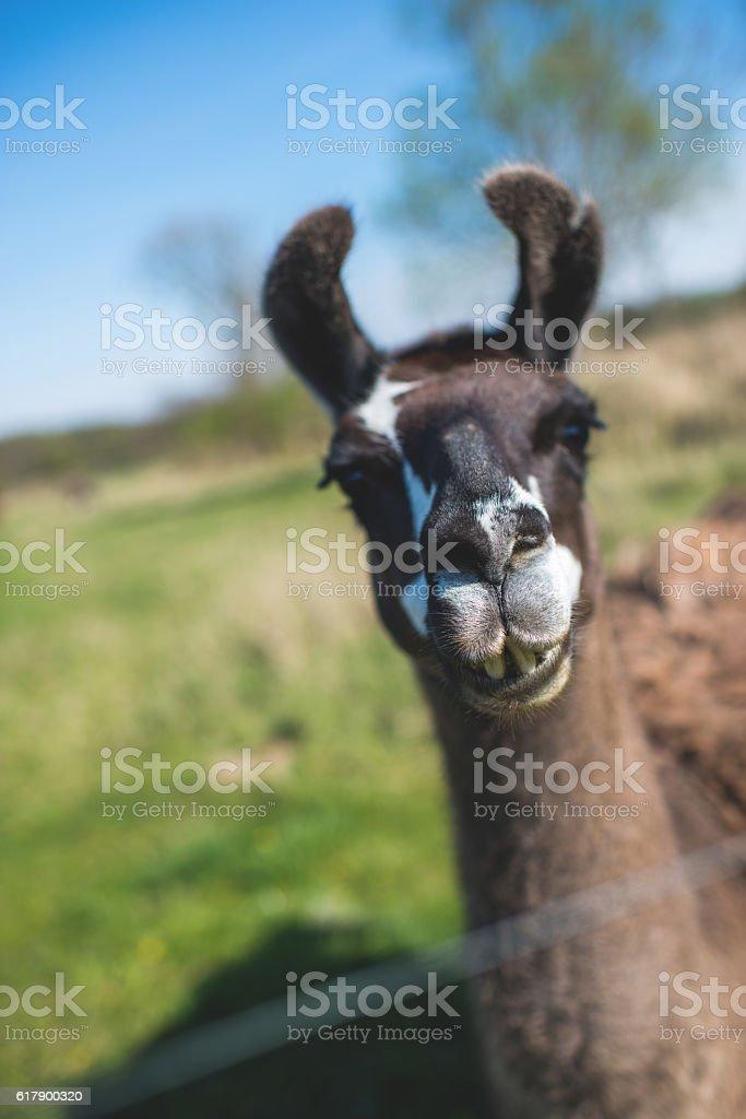 Llama's gaze stock photo