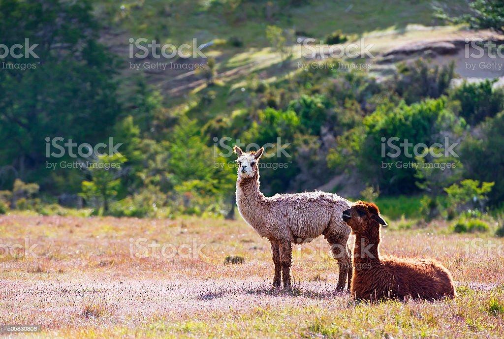 Llamas stock photo