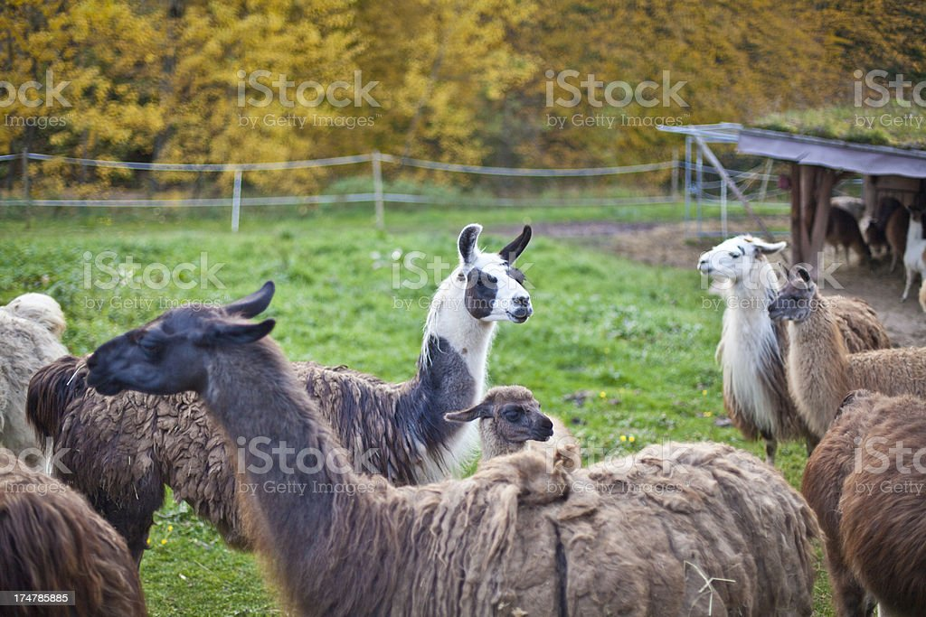 Llamas posing royalty-free stock photo