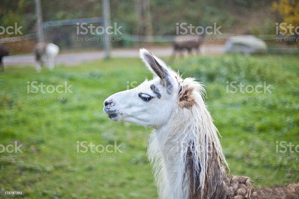Llamas posing royalty-free stock photo