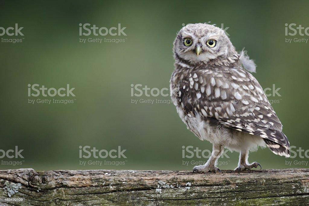 Llittle Owl stock photo