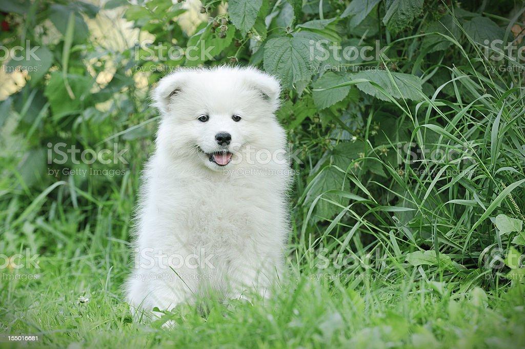 Llittle Samoyed  puppy portrait royalty-free stock photo