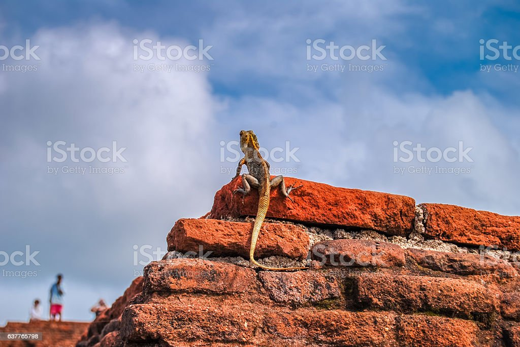 Llizard on the red brick wall. Sigiriya Rock. Sri Lanka. stock photo