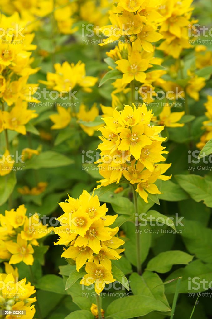 Lloosestrife point or Lysimachia Punctata flowers in garden stock photo