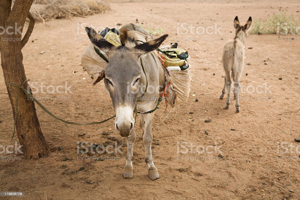 Loaded donkey. stock photo