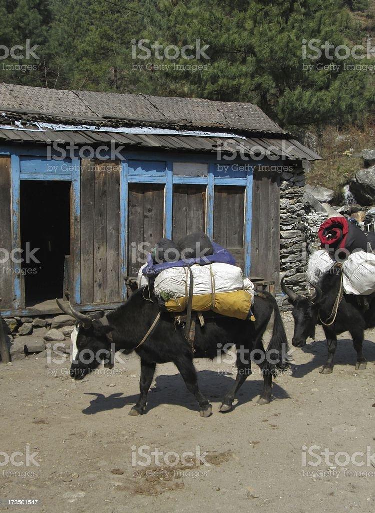 Loaded zhos in the Everest Region royalty-free stock photo
