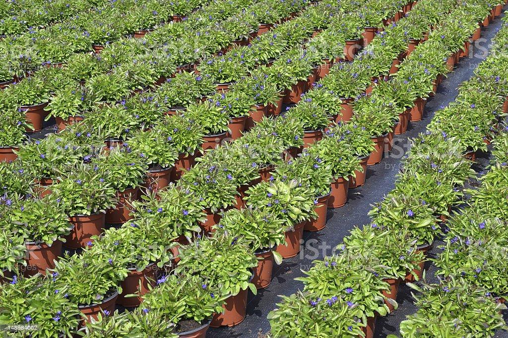 Lobelia Campanulaceae ます。 ロイヤリティフリーストックフォト