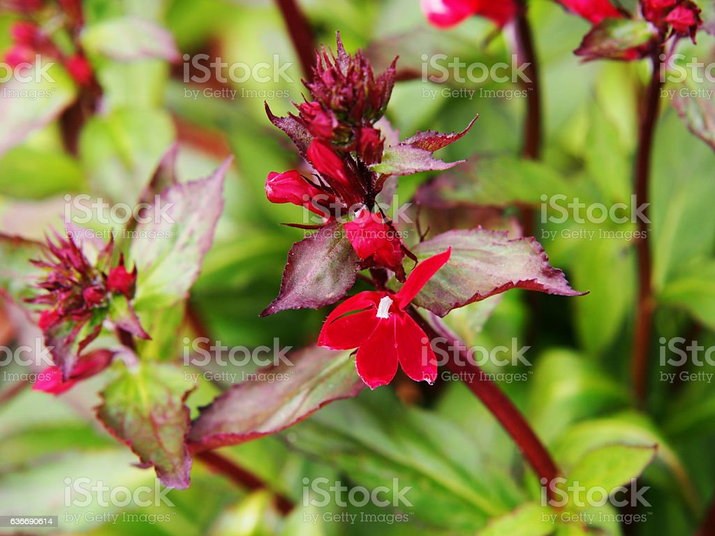 Lobelia cardinalis 'Queen Victoria' (syn. Lobelia fulgens) stock photo