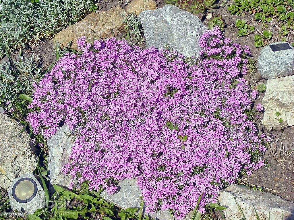 Lobelia flower in rockery stock photo