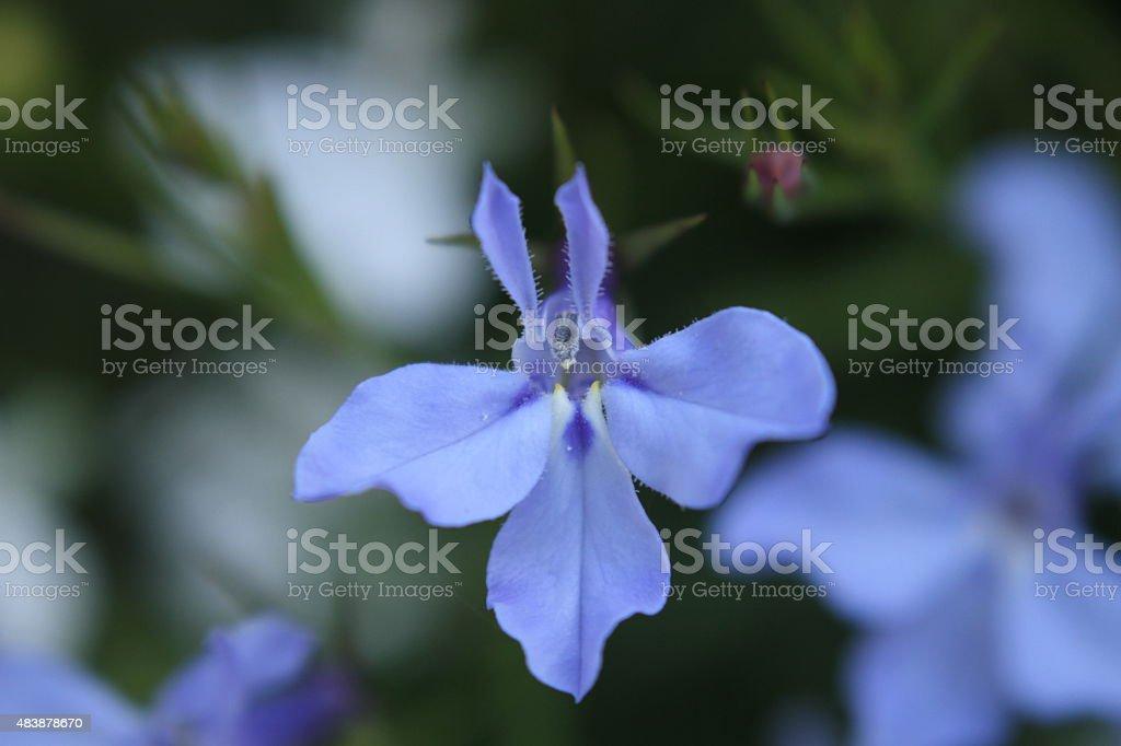 Lobelia flower. stock photo