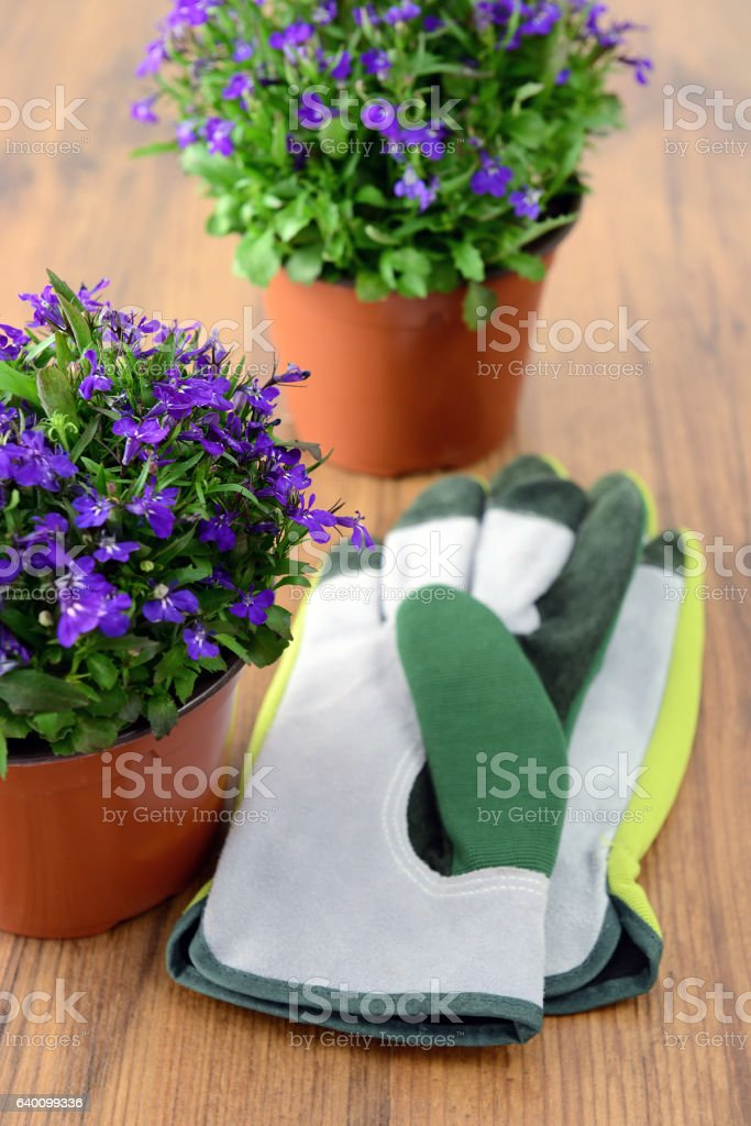 Lobelia flowerpot with garden gloves on wooden table stock photo