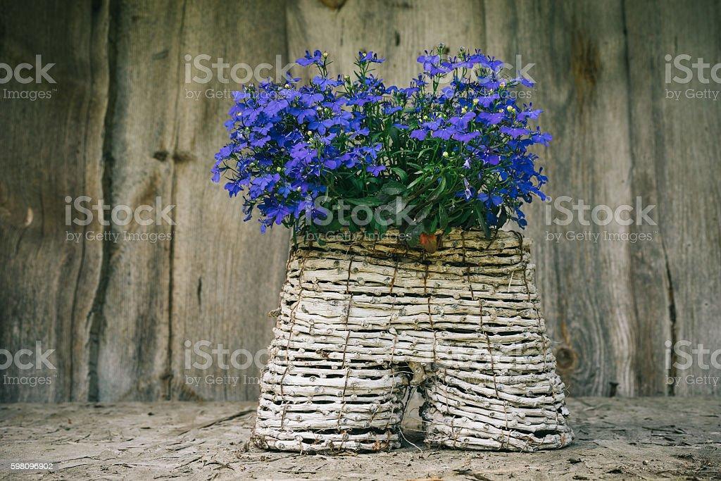 Lobelia flowers in handicraft pot stock photo
