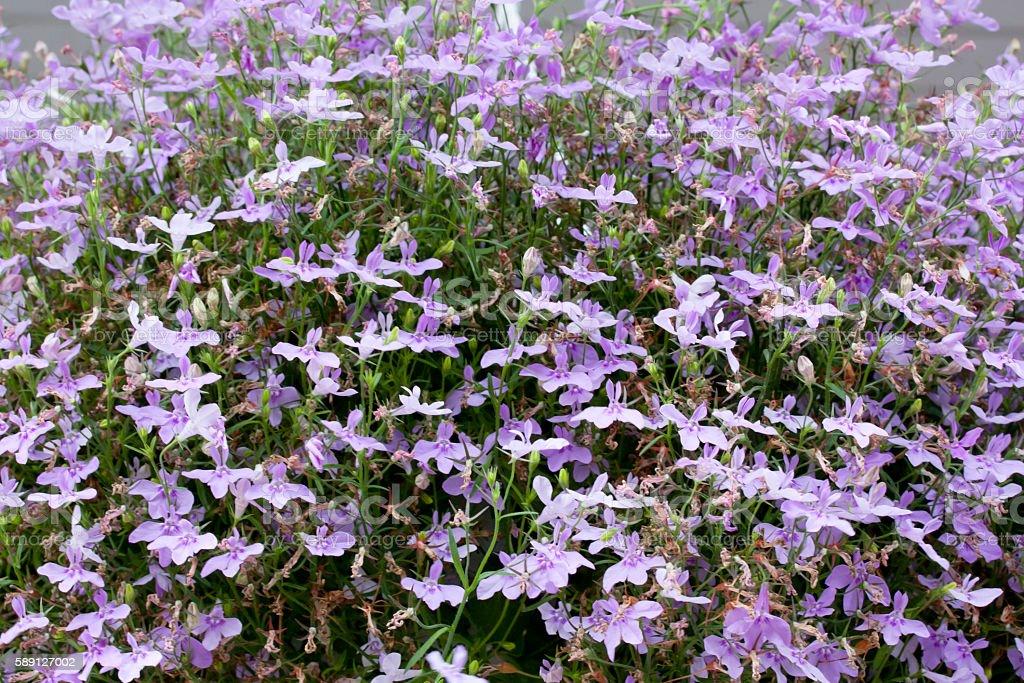 Lobelia Flowers large, close-up stock photo