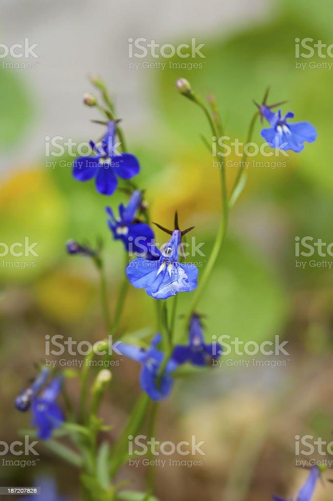 lobelia flowers with autumn dew stock photo