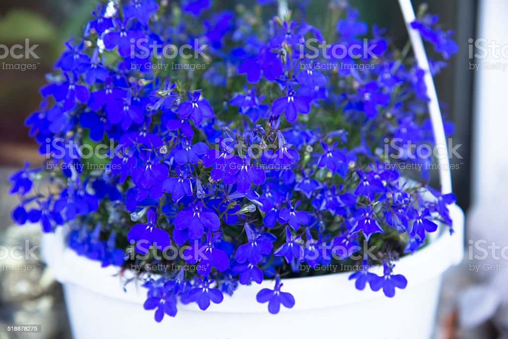 Lobelia stock photo