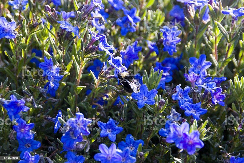 Lobelia with Bee stock photo