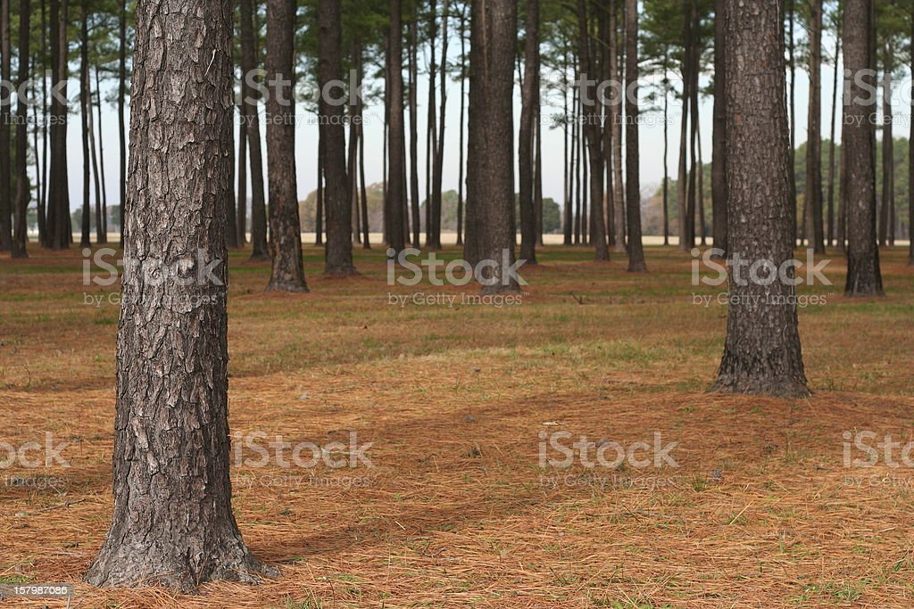 Loblolly Forest royalty-free stock photo