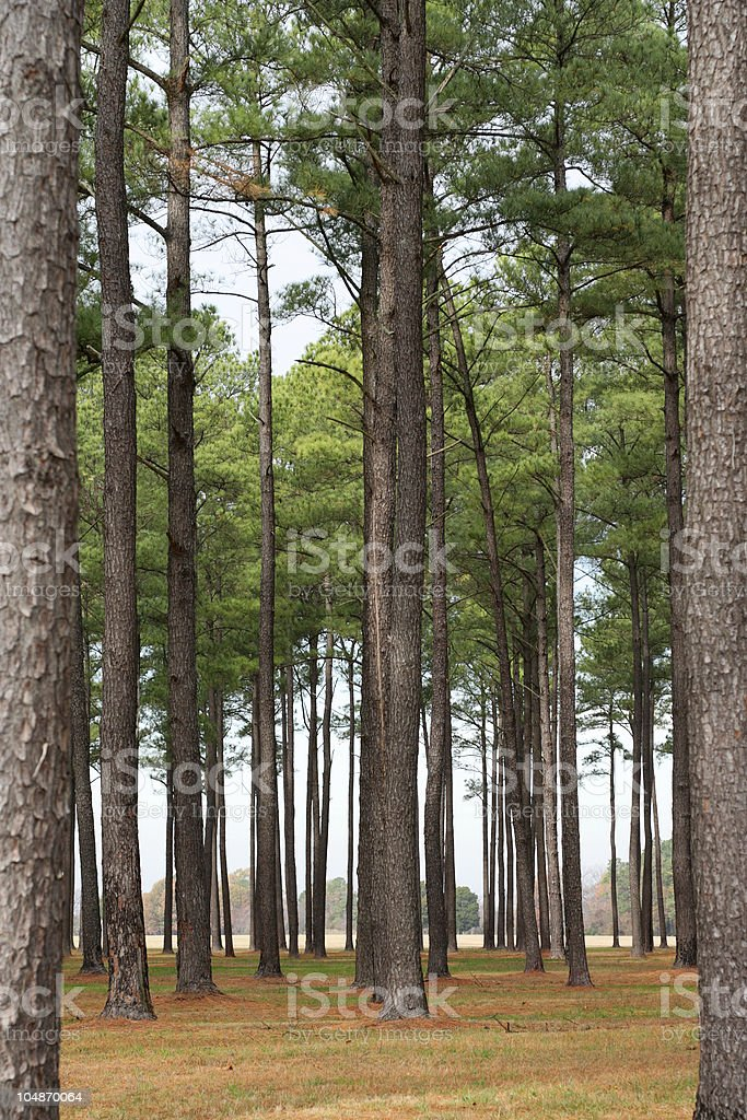 Loblolly Pine forest royalty-free stock photo