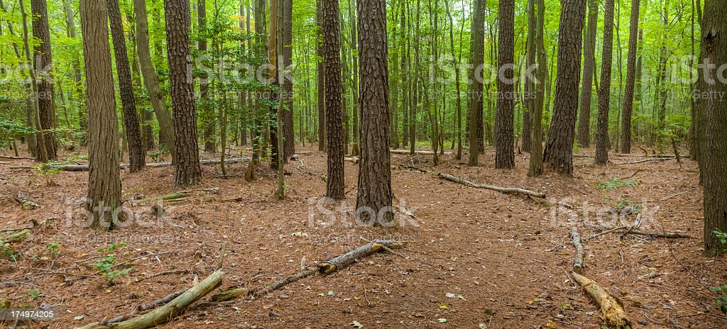 Loblolly Pine Forest stock photo