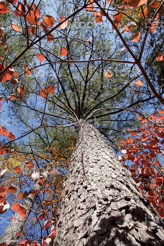 Loblolly Pine Rises Skyward stock photo