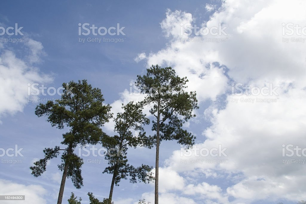 loblolly pines on blue sky stock photo