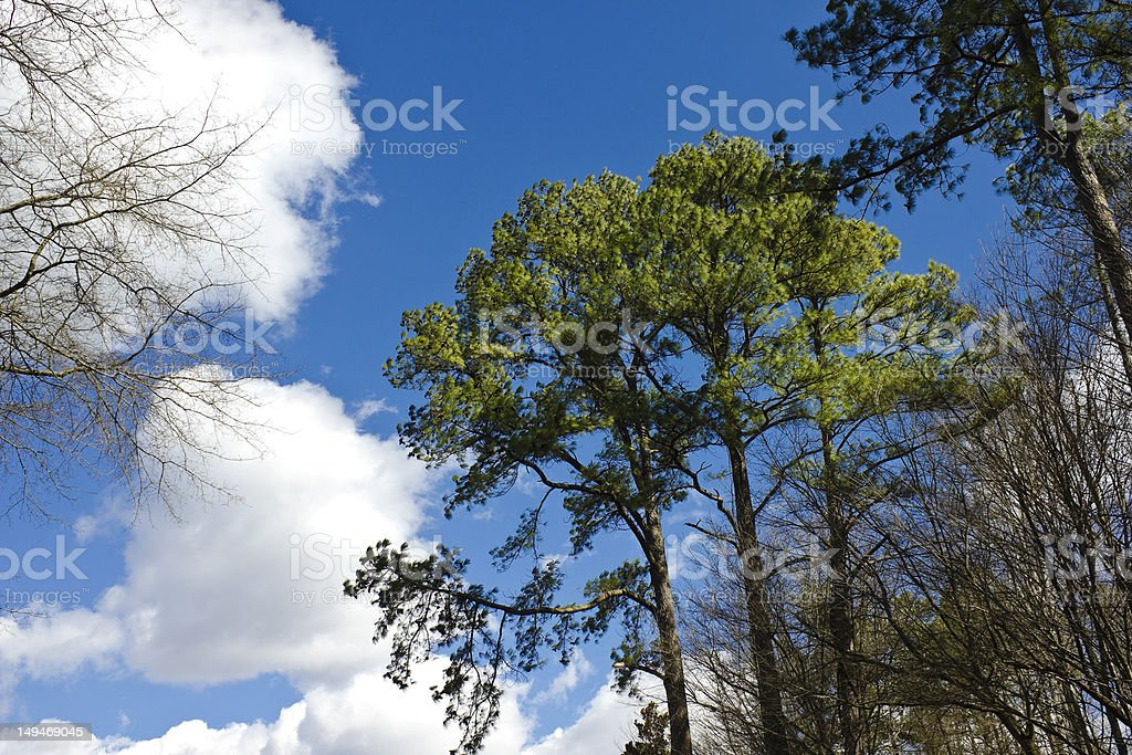 Loblolly Pines stock photo