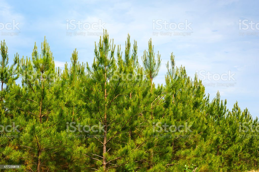 Loblolly Pines (Pinus taeda) stock photo