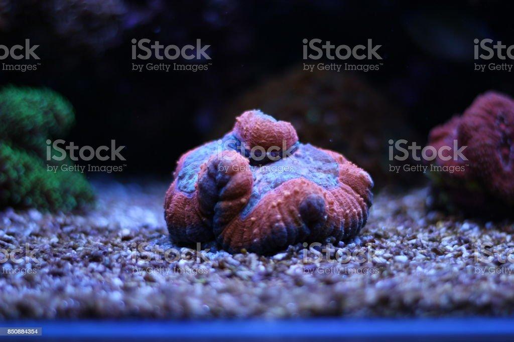 Lobophyllia LPS coral stock photo