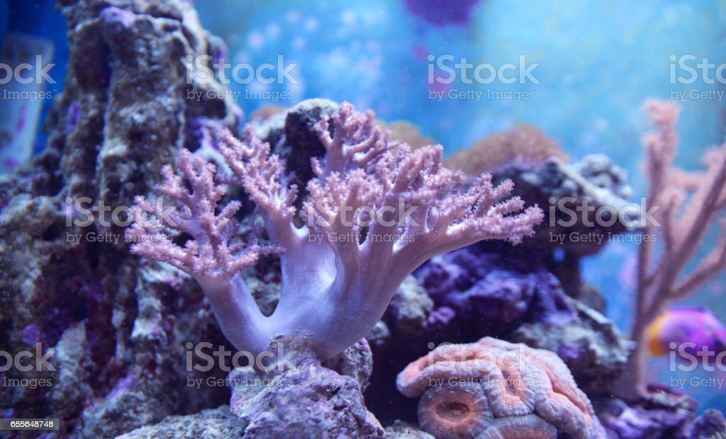 Lobophyllia sp., brain coral. Gorgonaria Euplexaura, Sea Fan. Clavularia. Fragment of blue aquarium full of water plants. stock photo