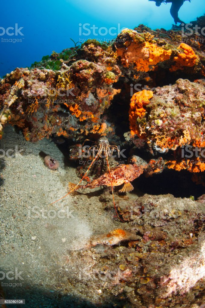 Lobster and red scorpionfish  (Scorpaena scrofa) Sea life Underwater seastar Scuba diver point of view stock photo