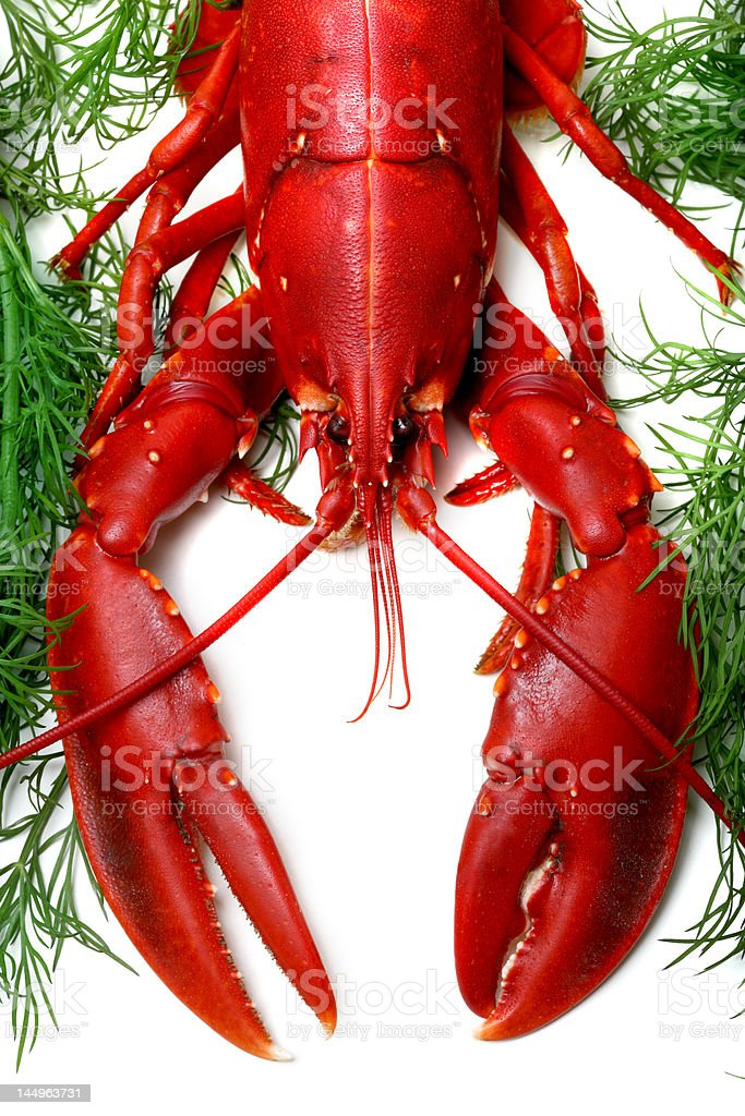 Lobster being prepped for cooking royalty-free stock photo