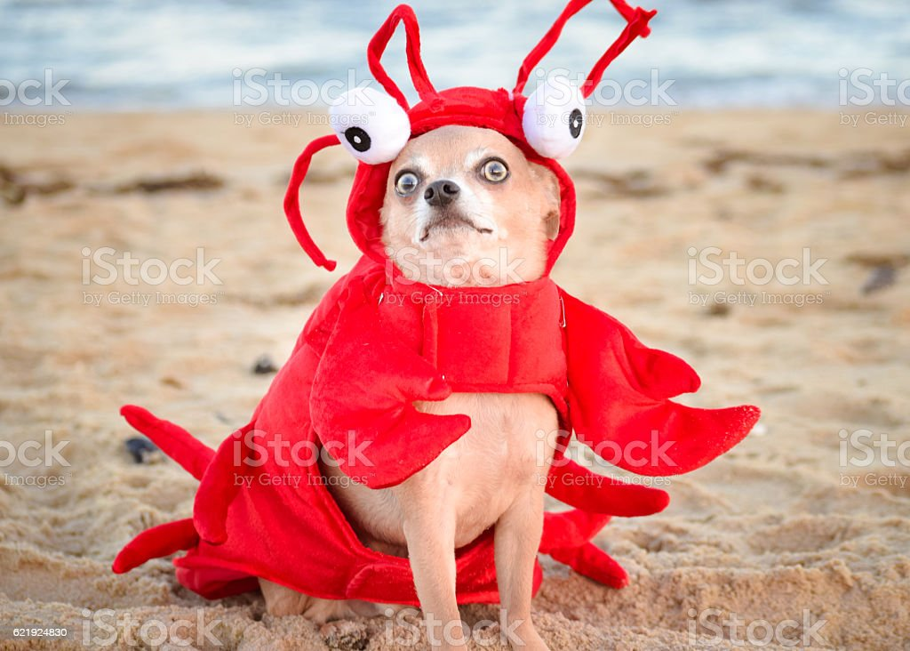 Lobster Chihuahua stock photo