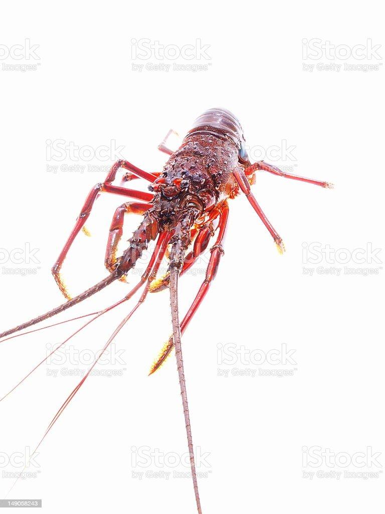 lobster - iseebi royalty-free stock photo