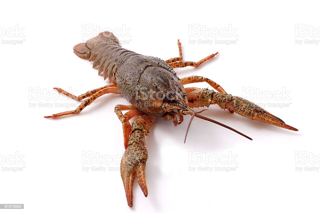 lobster isolated on white stock photo