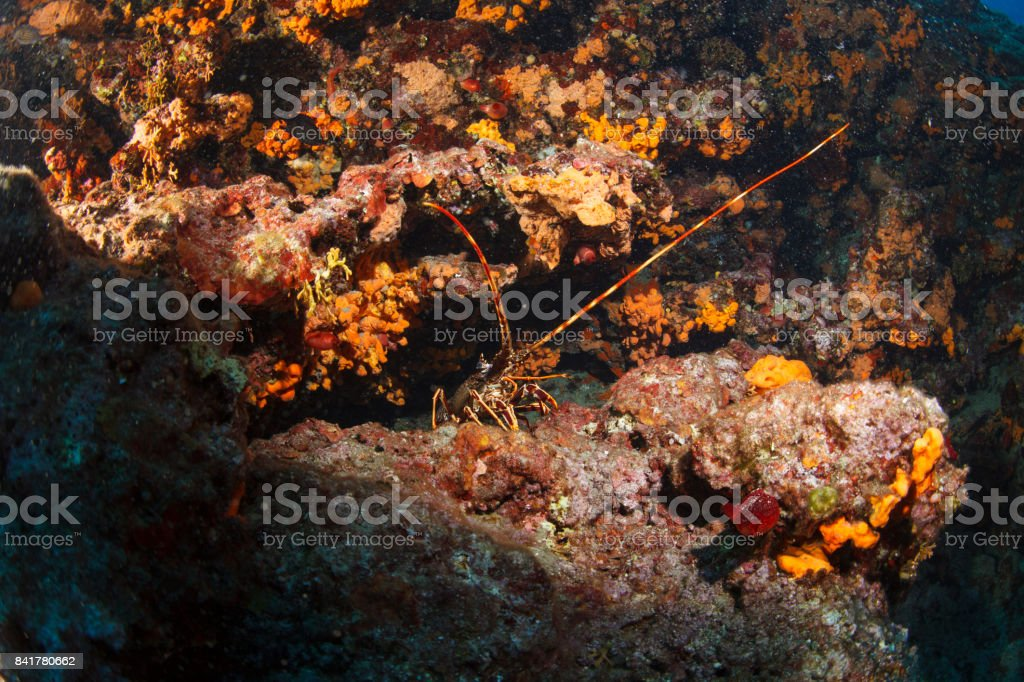 Lobster Sea life Underwater sea star Scuba diver point of view stock photo