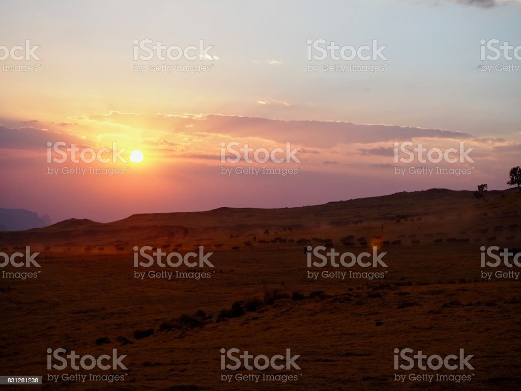 Local cattle at sunset in the Simien Mountains stock photo