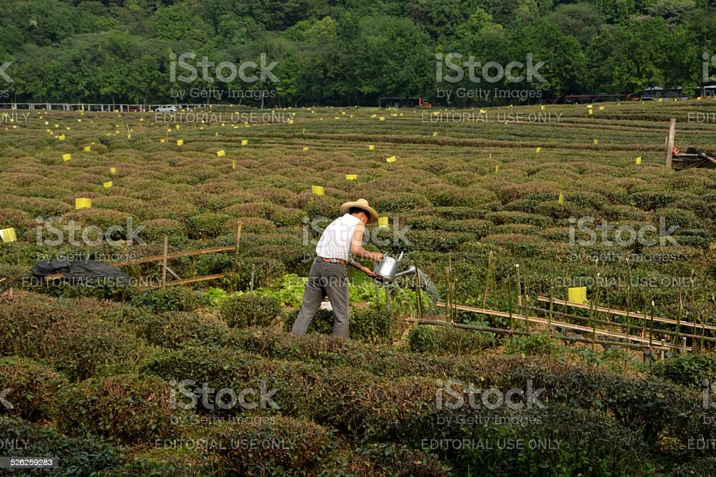 Local farmer working in Longjing Tea fields, Hangzhou China stock photo