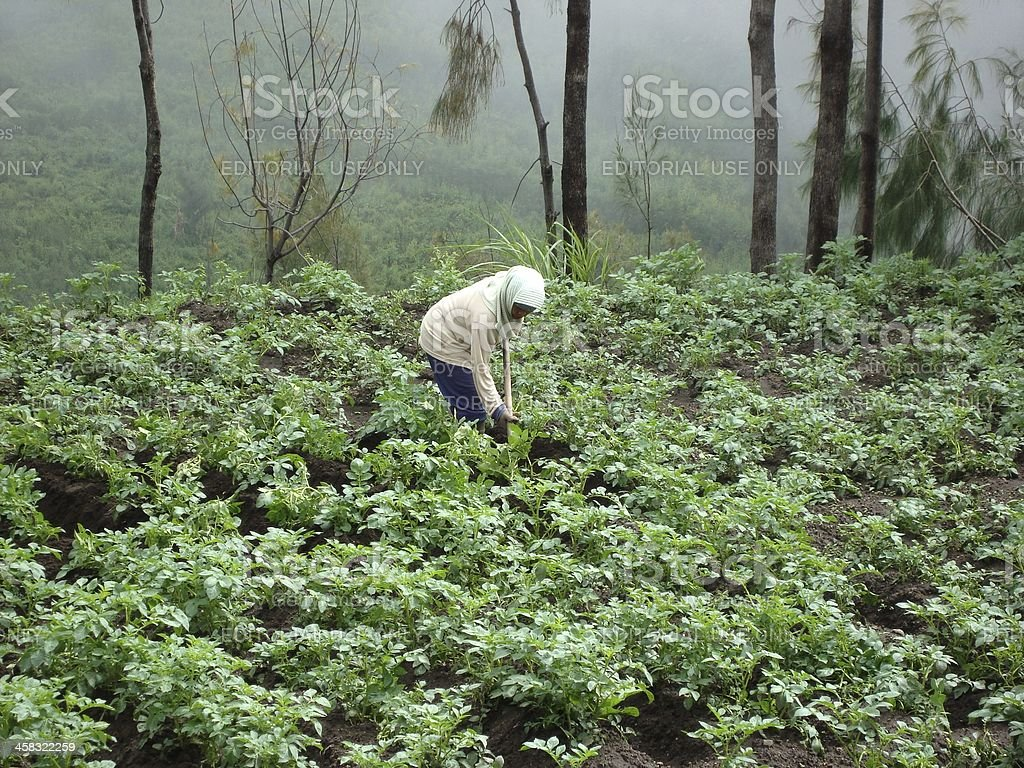 Local lady cultivating in Cemoro Lawang, Bromo - Indonesia royalty-free stock photo