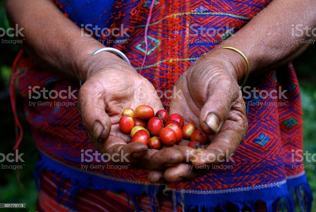 Local Thai Coffee Farmer Showing Beans During Harvest stock photo