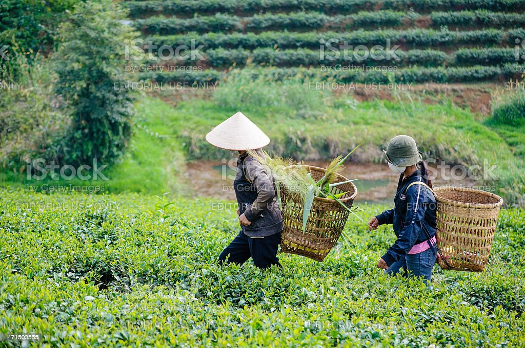 Local women with vietnamese conical hat and carry basket royalty-free stock photo