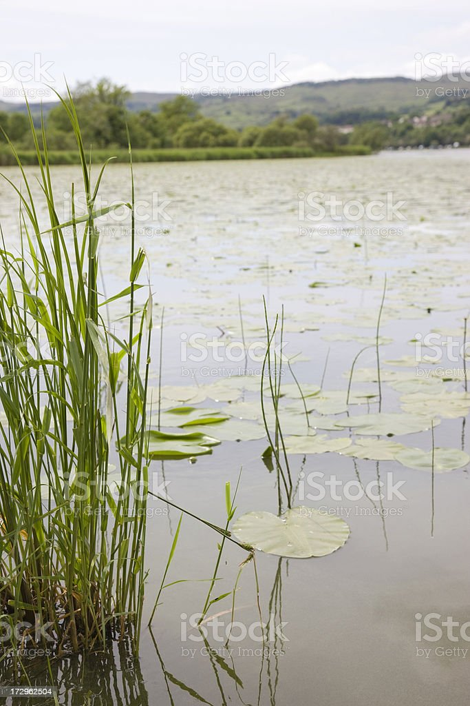 Loch Reeds And Lilies royalty-free stock photo
