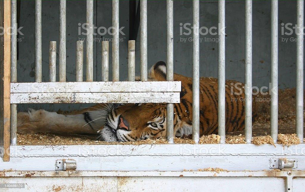 Locked up tiger stock photo